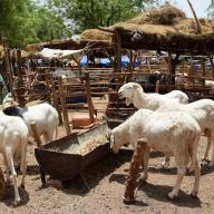 Livestock in the Sahel.