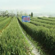 Wheat field in China, 2014.
